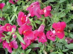 Snapdragons one of my favorite annuals