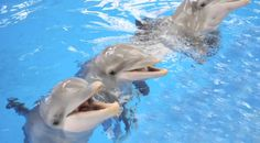 Dolphins can recognize calls from old tank mates from 20 years ago, study finds - The Washington Post