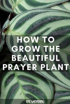 How To Care For The Beautiful Prayer Plant - House Plants - ideas of House Plants - Prayer plants or maranta plants are finicky houseplants that add a lot of beauty to your home. Learn how to properly care for this delicate plant in our guide. Outdoor Plants, Garden Plants, Outdoor Gardens, Indoor Herbs, Plants Indoor, Big Garden, Flowering Plants, Prayer Plant Care, Cat Friendly Plants