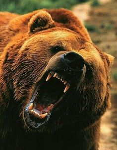 Brad heard a twig snap and turned to his right as a huge grizzly bear standing on his hind legs making a loud roar and headed straight toward Brad.