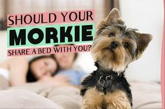 Should your Morkie share a bed with you? The pros and cons