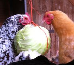 hang cabbages and kale leaves all tied together- the girls LOVE to peck at it while it swings around
