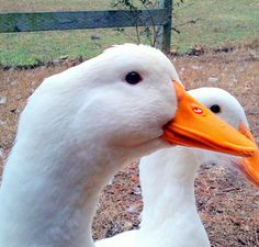 Want to see why ducks are the new chickens?