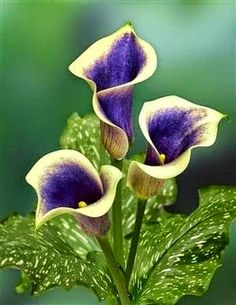 Calla Lilies - Picasso Calla Lily | Dreaming Gardens