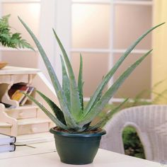 Aloe Vera Plant - 1 plant Buy online order yours now
