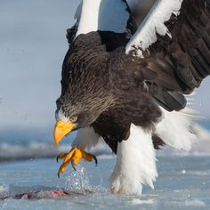 SERGEY GORSHKOV-PHOTOGRAPHER with Pablo Fragoso  My favorite Steller's sea eagle.