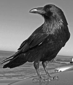 Common Raven Drawings | ravens