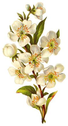 http://vintageimages.org/var/resizes/Flowers/Flowers441.jpg?m=1314016973 (apple painting illustrations)