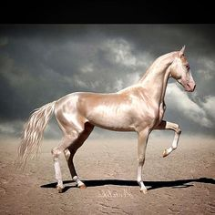 @mag.gieshep.herd This surreal horse is an Akhal Teke, and the breed is known for the beautiful metallic shine on their coat. #akhalteke #horse #equine #animal #wild #lux #elegant #Turkmenistan #stallion #coat #shine #metallic #biology #biological #naturalhistory #nature #natural #Beauty #grand #colour #color #exotic #beautiful #love #surreal #ghostly