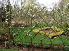 Training fruit trees into a cordon espalier shape