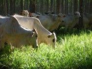 Integração lavoura-pecuária se destaca no MT