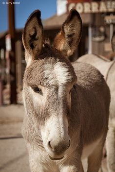 Go to Oatman, AZ and the town is overrun with burros..they go in and out of the grocery store, are on all streets and will come right up to you.  Great tourist attraction, on the way to Las Vegas.