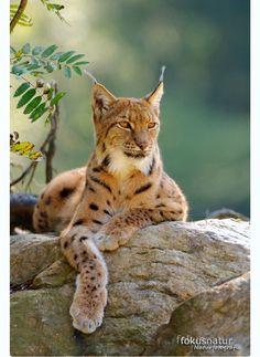 Beautiful Eurasian Lynx (Lynx lynx) at ease on a rock ledge. (Mehr)
