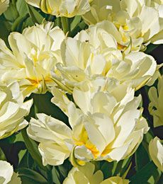 Tulip creme upstar white flower farm flower farm and flowers fosteriana tulips are known for their large early flowers and for coming back in the garden exotic emperor is an elegant white semidouble with curly mightylinksfo Gallery
