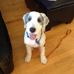 Image Result For Old English Sheepdog Short Hair Dogs