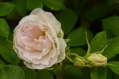 Rosa rugosa 'Ritausma'