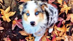 Beautiful Puppy / australian shepherd 50 Cutest Puppies You Need To Look At Now Source by micahmgibson The post 50 Cutest Puppies You Need To Look At Now appeared first on Kuba Dog Life. Aussie Puppies, Cute Puppies, Cute Dogs, Dogs And Puppies, Doggies, Pomsky Puppies, Puppys, Mini Aussie Puppy, Maltese Dogs