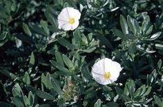 Convovulus cneorum, from: Moonlight Gardens - Perfect Pergolas Blog