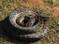 Snake Removal, Removal Services, Feral Cats, Cairns, How To Remove, Animals, Animales, Animaux, Animal Memes