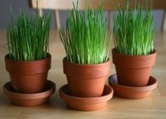 Grow Your Own Dog Friendly Wheatgrass | Kol's NotesKol's Notes
