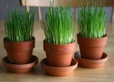 Grow Your Own Dog Friendly Wheatgrass | Kol's NotesKol's Notes
