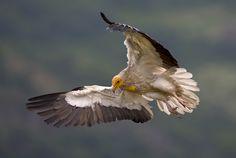 Egyptian vulture by BogdanBoev on DeviantArt