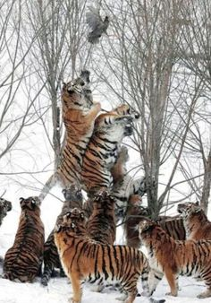 How many tigers does it take to catch a bird? Via the Chive.