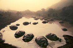Tortoises at Dawn, Galapagos Islands, 1984, by Frans Lanting