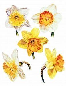 Daffodil tattoo design