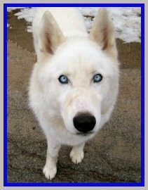 Handsome Casper needs a home!  From Love is Being Owned by a Husky