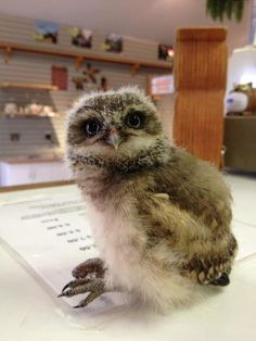 """sitting down on the job"" !!!  baby Burrowing Owl  (Alberta Birds of Prey Center)"