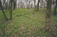 Wild garlic in forest #wildgarlic #bärlauch #woodgarlic #baersgarlic #ramsons #forest #woods #trees #slovakia #bratislava