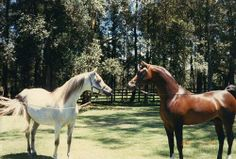 An amazing photo of *Simeon Shai+ (Ra'adin Royal Star x Simeon Safanad) with his mother Simeon Safanad (Sankt Georg x 27 Ibn Galal V) just before he left Australia for the United States.