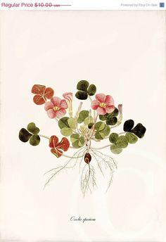 Oxalis Speciosa Antique Botanical Art Print 5 by 1001treasures