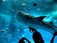 Churaumi Aquarium, Okinawa, August 2013