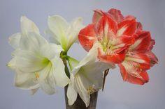 Amarylka se odvděčí nádhernými květy