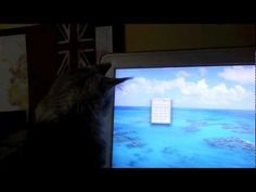 Maine Coon Cat Sean Coonery Chasing Computer Calculator