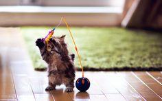 「play cat」的圖片搜尋結果