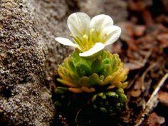 Saxifraga cespitosa Linnaeus  -  Tufted Saxifrage