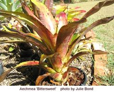 Aechmea 'Black Jack' | Index of /bcg/bcr/docs/Aechmea