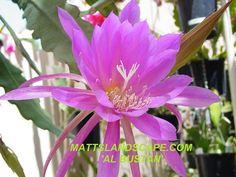 Epiphyllum hybrid 'Al Bustan'