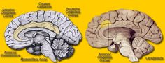The location of the anterior and the posterior Cingulate Cortex. Anterior Cingulate Cortex, Brain Mapping, Lion Sculpture, Statue, Art, Art Background, Kunst, Performing Arts, Sculptures