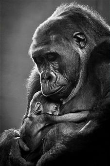 New mother gorilla