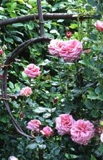 the lovely roses of Priory d'Orsan garden