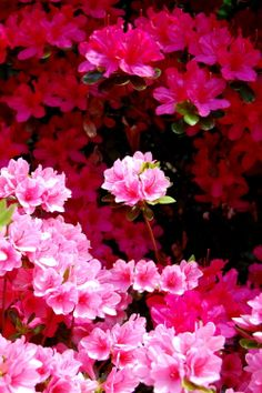 Azaleas - beautiful in bloom, green meatballs the rest of the year.