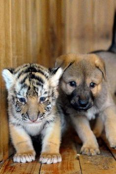 It's #pets on safari! A #puppy finds an unlikely friend in a #tiger cub. #Cutest #animal #friendships -Odd And Adorable #Animal Couples Teaching Us Tolerance #OMG #Animals #nature #beauty #life #vie #weird #bizarre #Stuff #Funny #Fun
