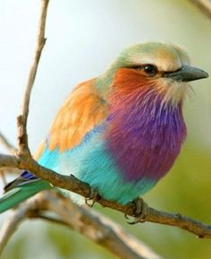 LILAC BREASTED ROLLER (Coracias caudata) The species ranges more or less continuously throughout eastern and southern Africa from the Red Sea coasts of Ethiopia and northwest Somalia to the Angola coast and northern South Africa. Pretty Birds, Love Birds, Beautiful Birds, Animals Beautiful, Cute Animals, Exotic Birds, Colorful Birds, Lilac Breasted Roller, Little Birds