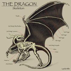In this image, you may find The Dragon Skeleton Anatomy Gross View. Wing Anatomy, Dragon Anatomy, Dragon Bones, Dragon Art, Dragon Wing, Dragon Rider, Dragon Skeleton, Dragons, Skeleton Anatomy