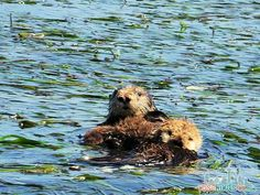 ELKHORN SLOUGH SAFARI GUIDED NATURE BOAT TOUR - sea otter mom and baby - such a great adventure. ad #seemonterey @seemonterey