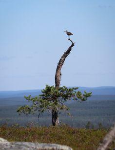 Pikkukuovi, Riisitunturi / Bird on top of fell Riisitunturi